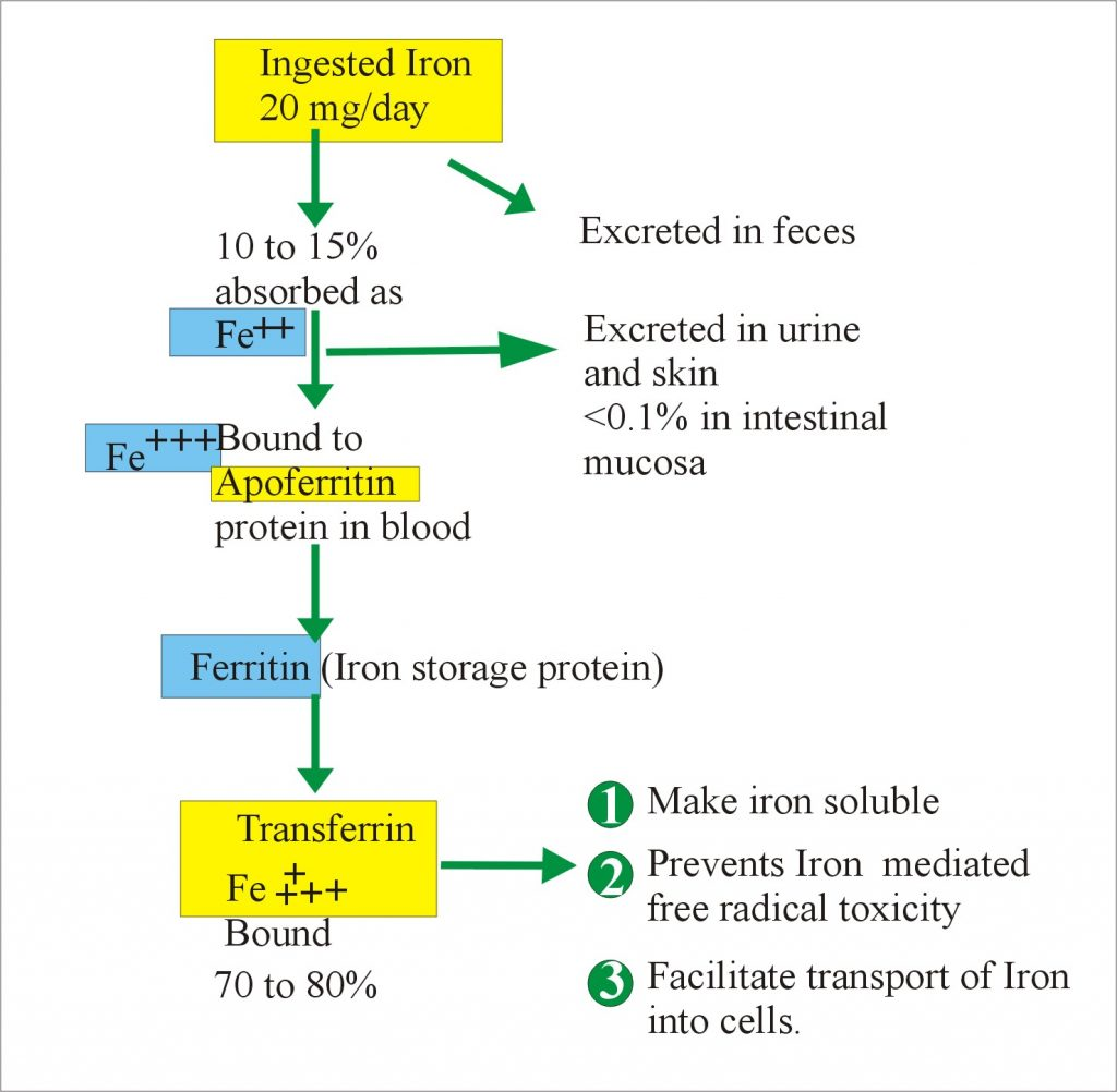 Iron Metabolism in the Body