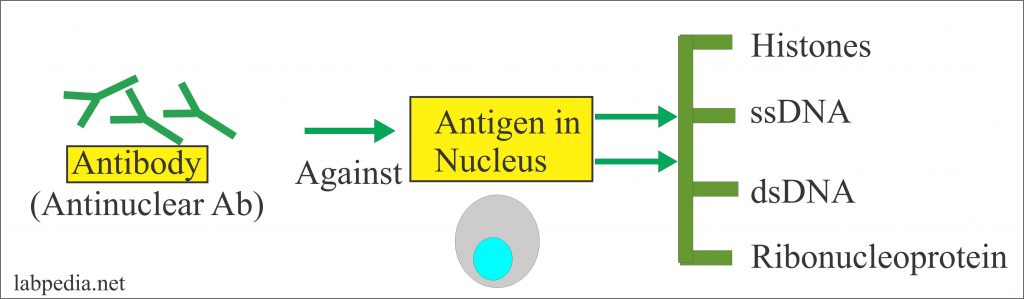 Types of Antigens in the SLE