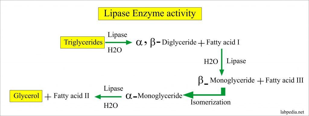 Lipase Enzyme activity