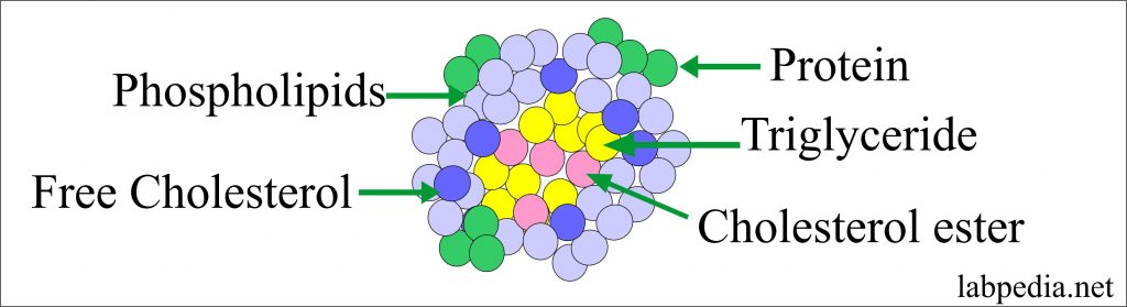 Lipoprotein Structure