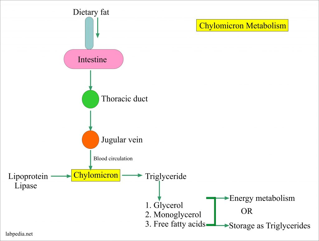 Metabolism of Chylomicron