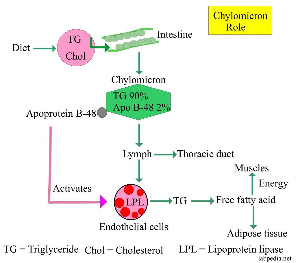 Lipoprotein – part 4 –  Chylomicron