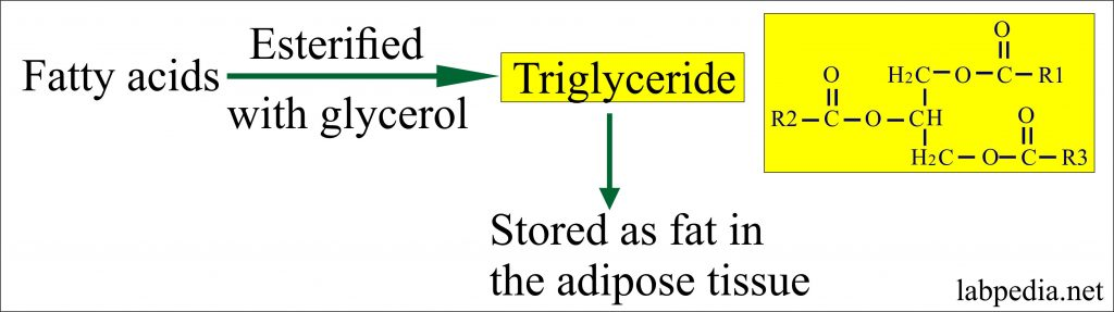 Triglycerides formation from Fatty acids
