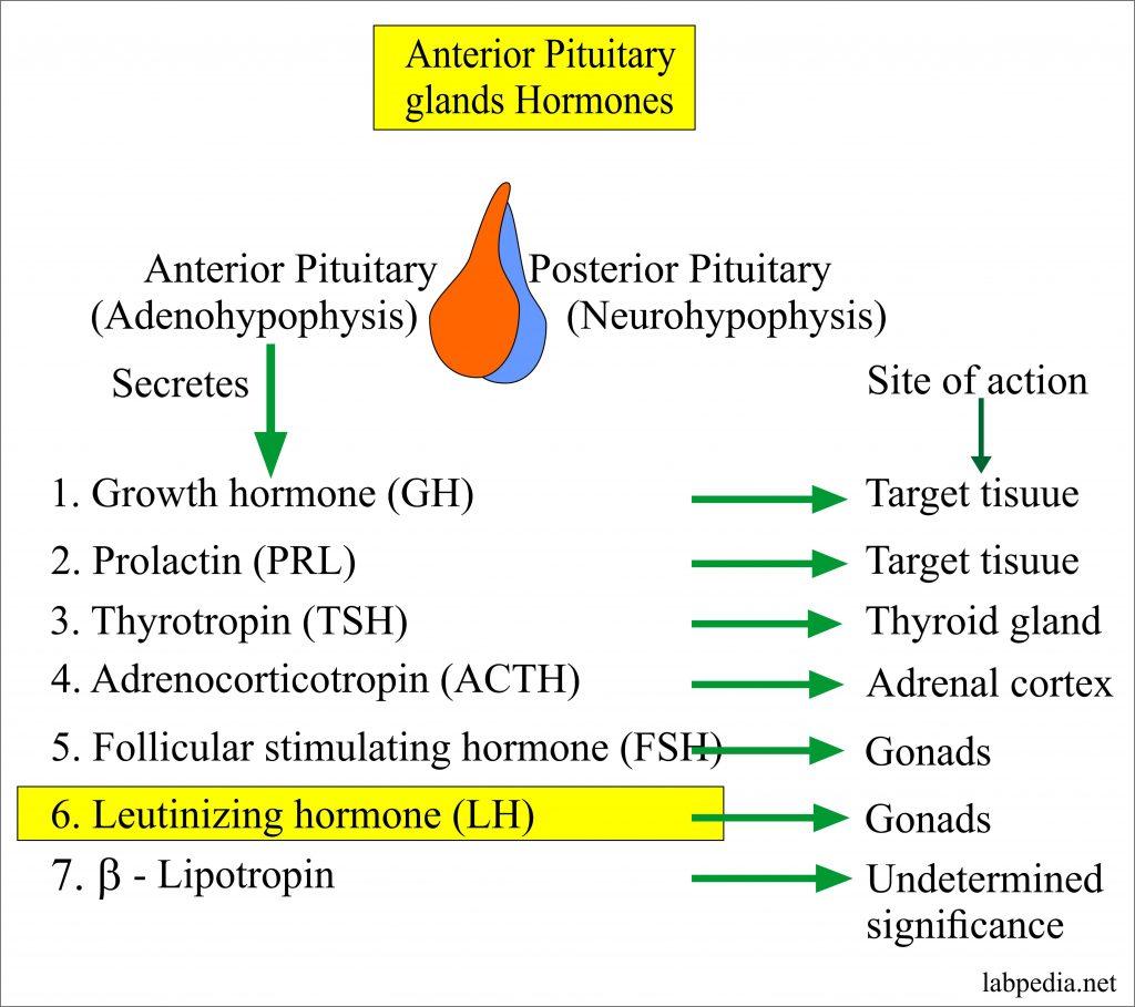 Anterior Pituitary Gland Hormones