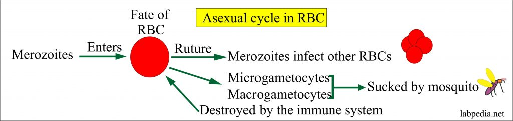 MP asexual cycle in the Red Blood Cells
