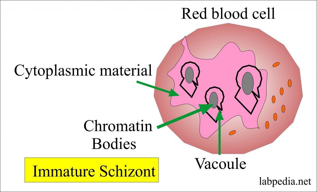 Malarial parasite, immature schizont