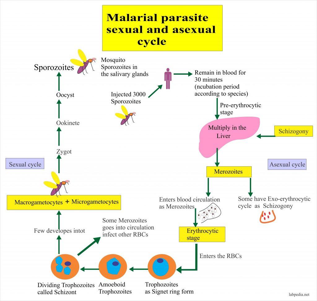 Malarial  Parasite – Part 1 – M P, Plasmodium, Life Cycle And Diagnosis