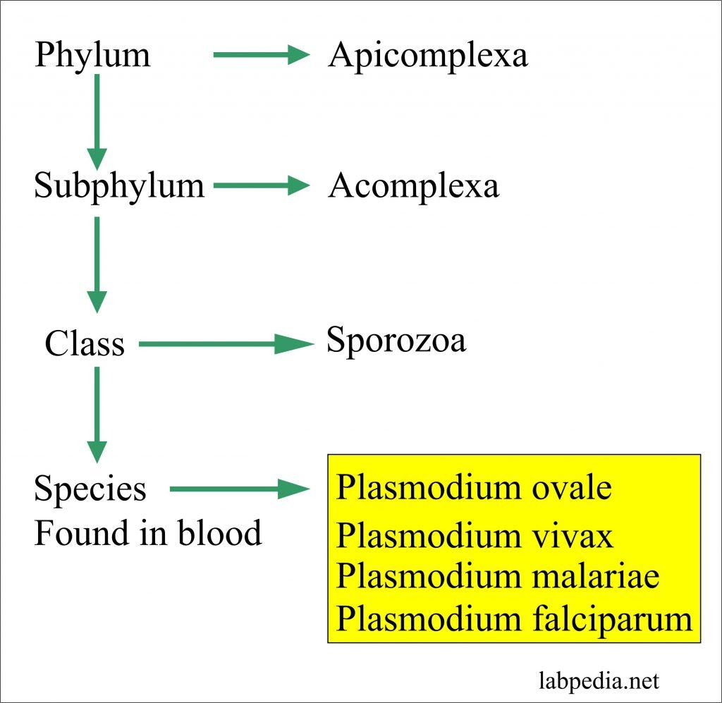 Malarial Parasite Classification