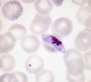 Mature Gametocyte