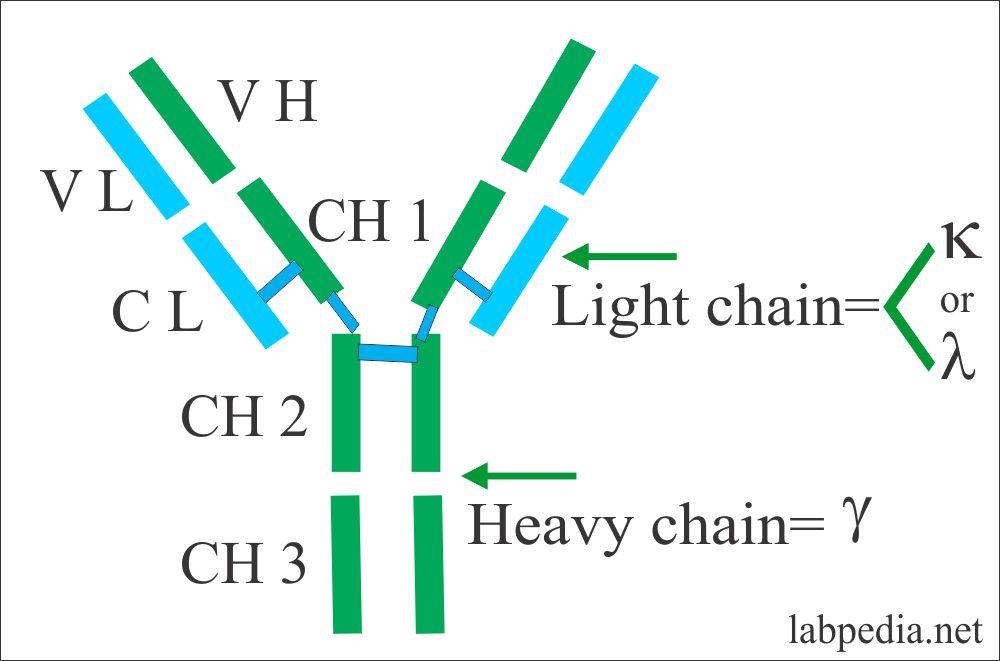 Structure of Immunoglobulin