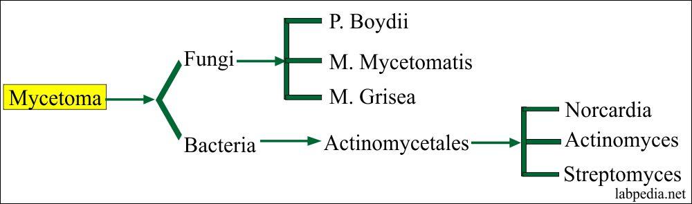 Types of Mycetoma
