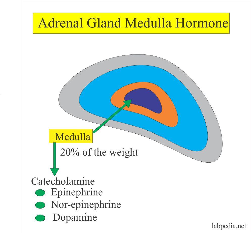 Adrenal gland Medulla Hormones