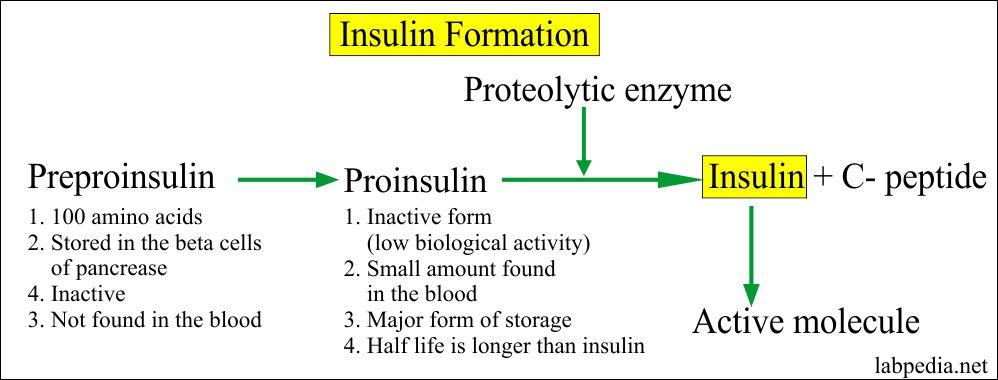 Insulin Formation