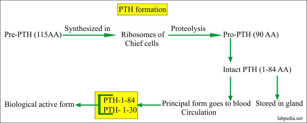 Parathyroid Hormone Formation