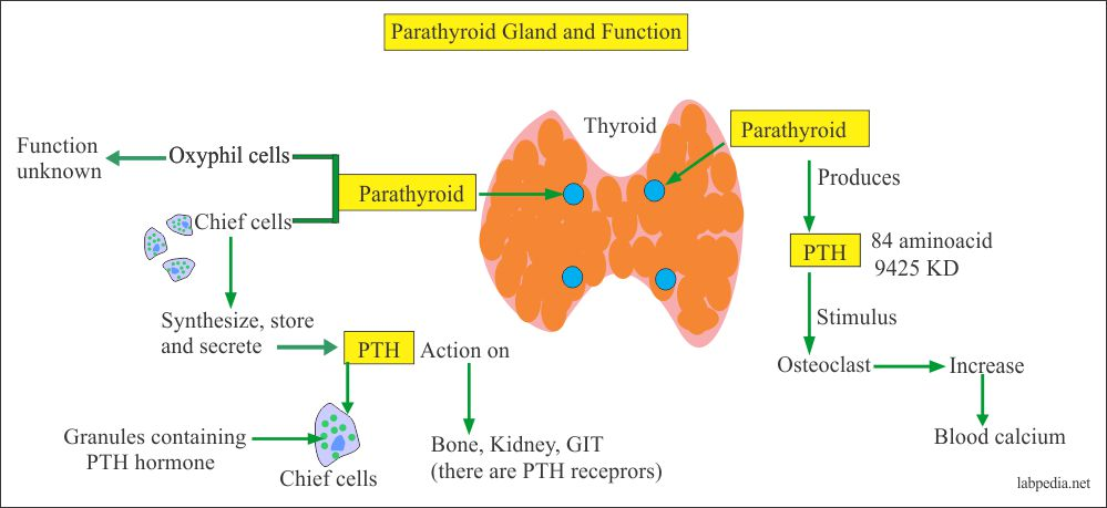 Parathyroid gland and their Functions