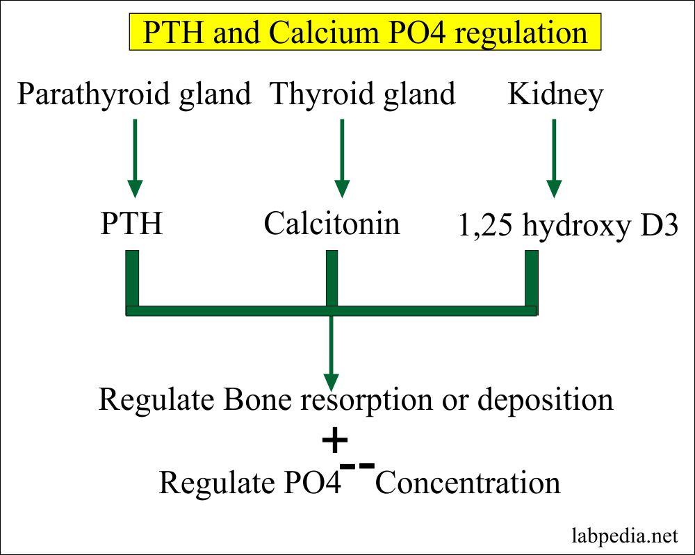 Parathyroid Hormone regulates the Calcium and PO4