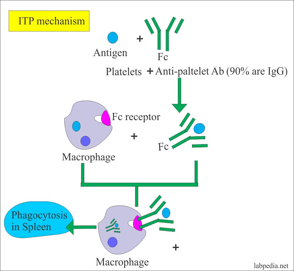 Idiopathic Thrombocytopenic Purpura Mechanism