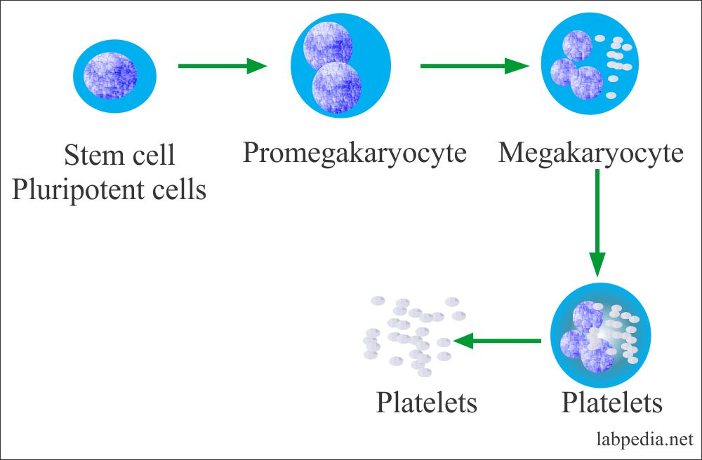 Formation of Platelets