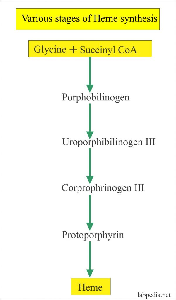 Heme Synthesis stages