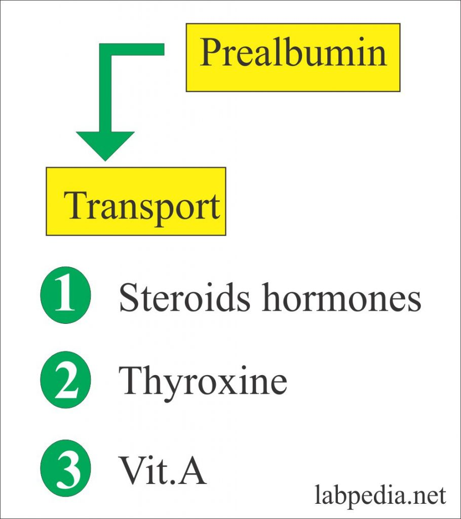 Prealbumin as Transport Protein