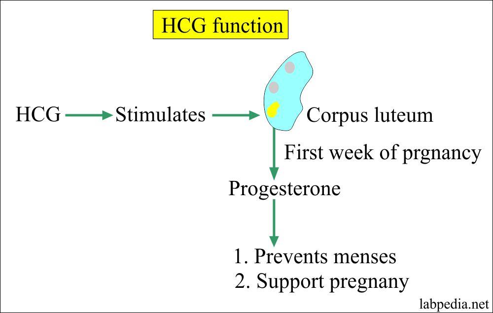 HCG Functions