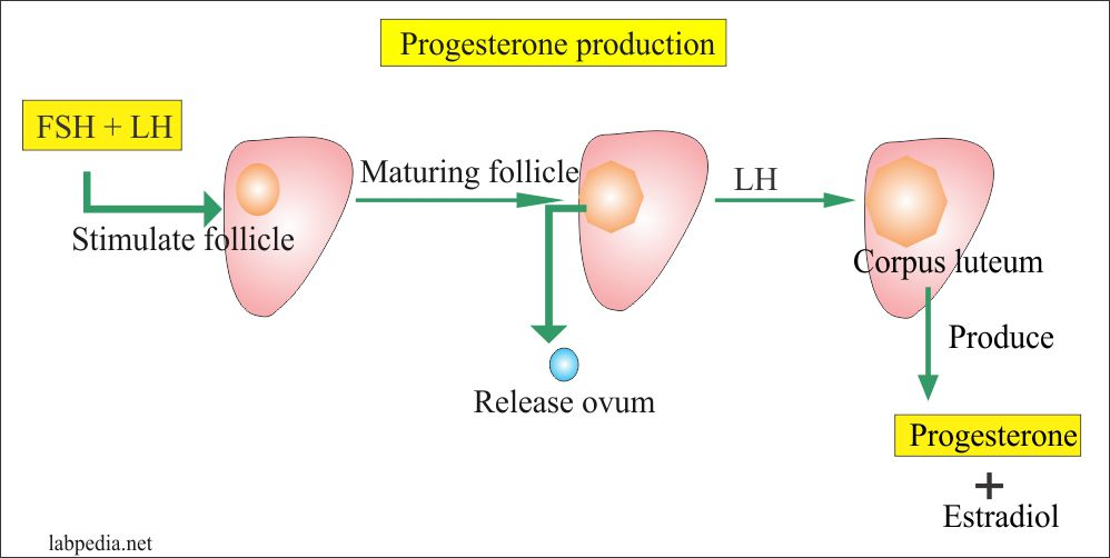 Progesterone produced by Corpus Luteum Cyst