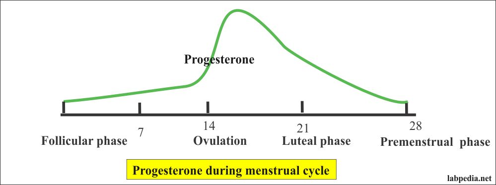 Progesterone during the Menstrual Cycle