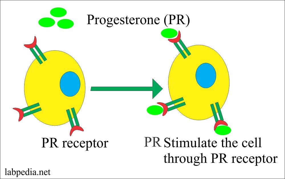 Role of Progesterone Receptor