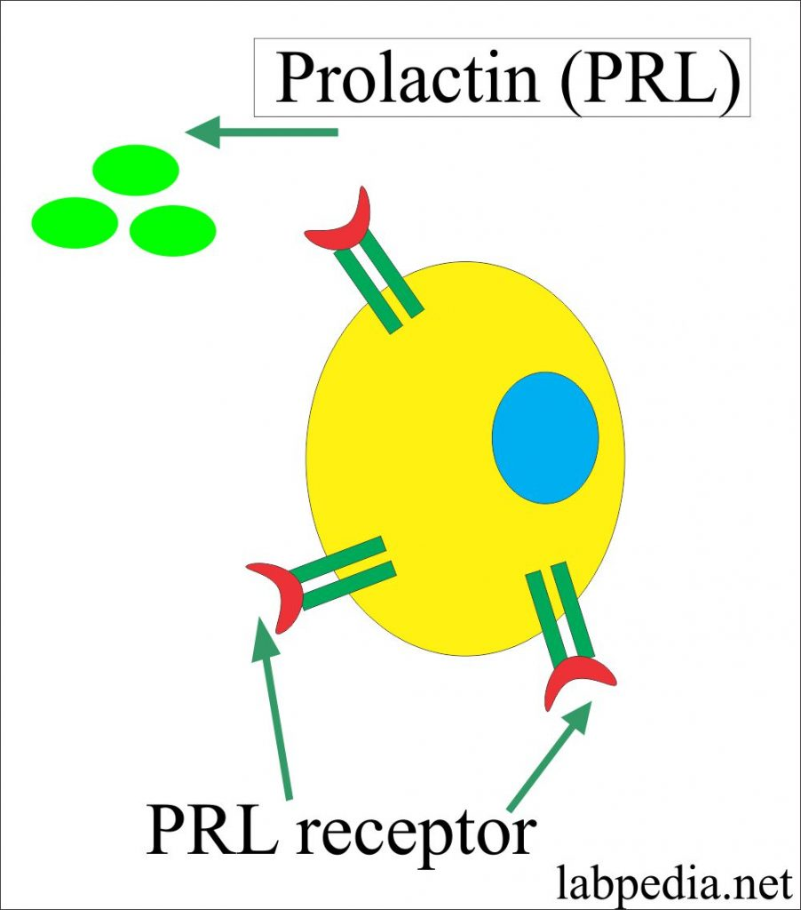 Prolactin Hormone and its Receptor