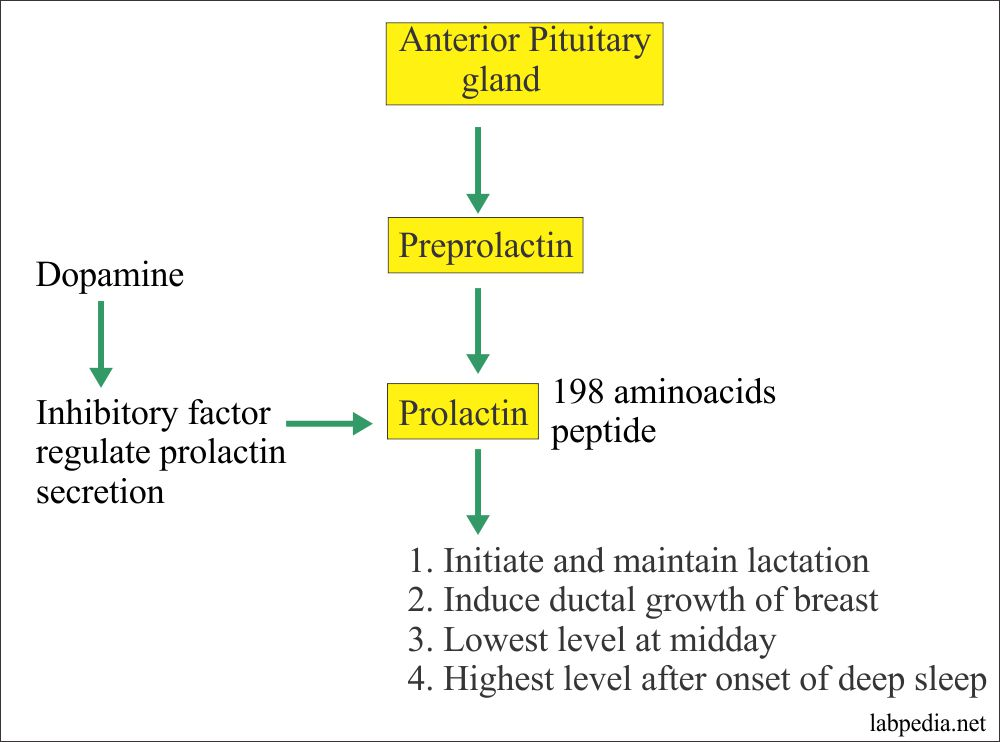 Prolactin Hormone and its Source