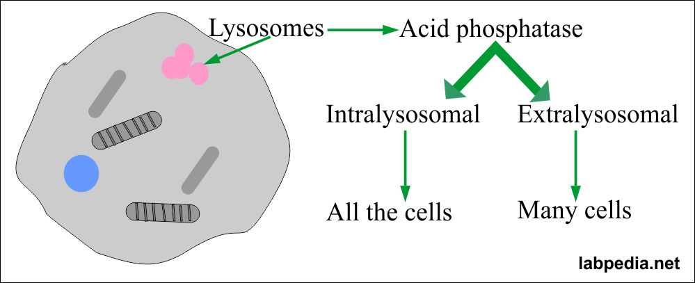 Acid Phosphatase Distribution in the cell