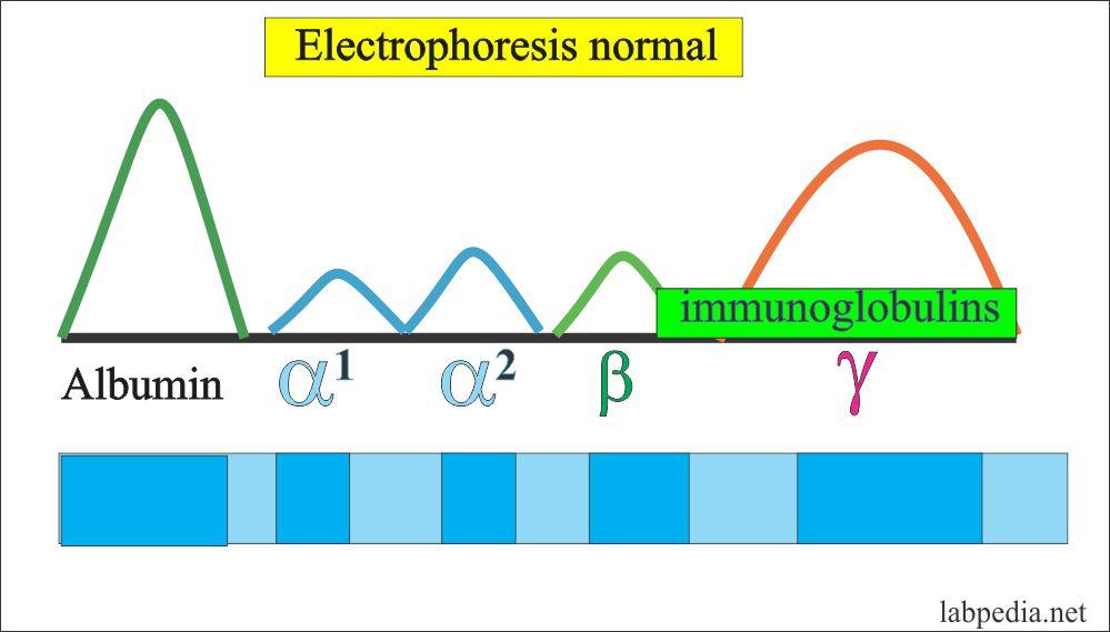 Normal Electrophoresis