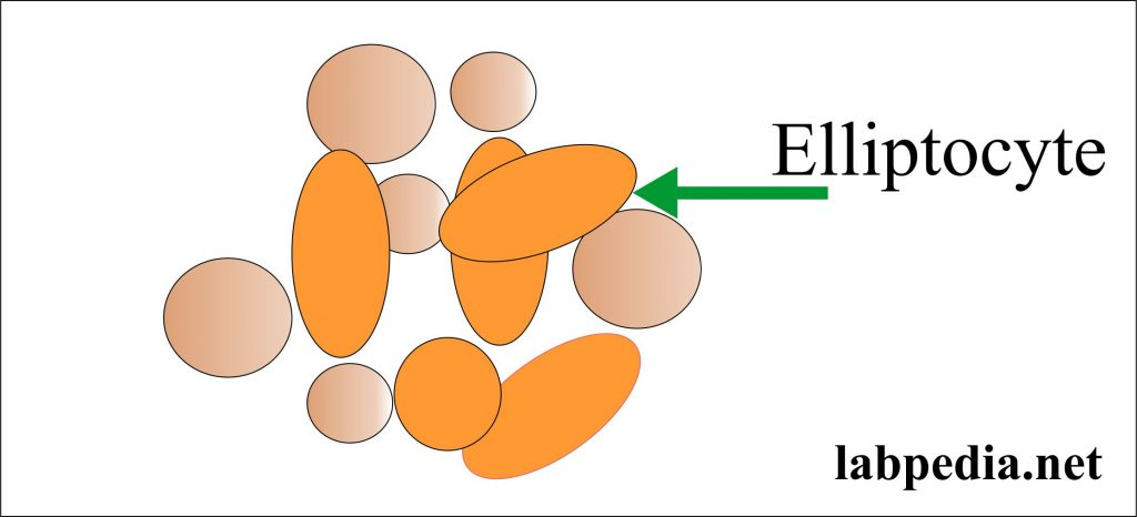 Ellipotocytes