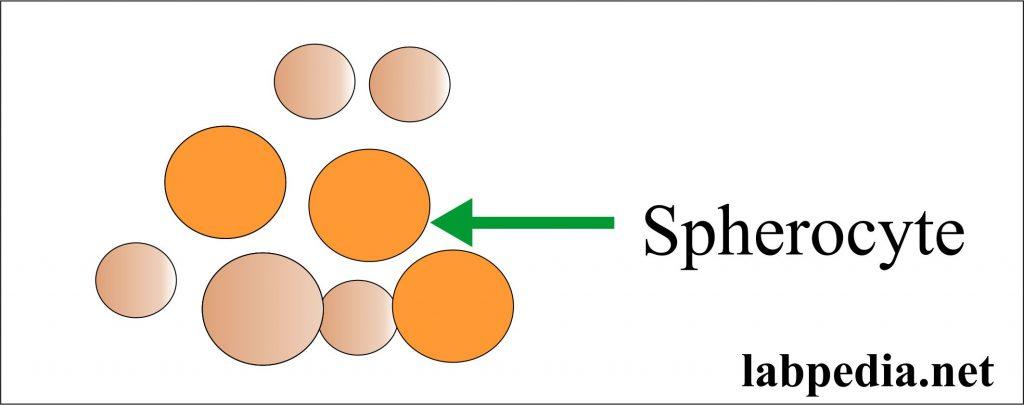 Spherocytes