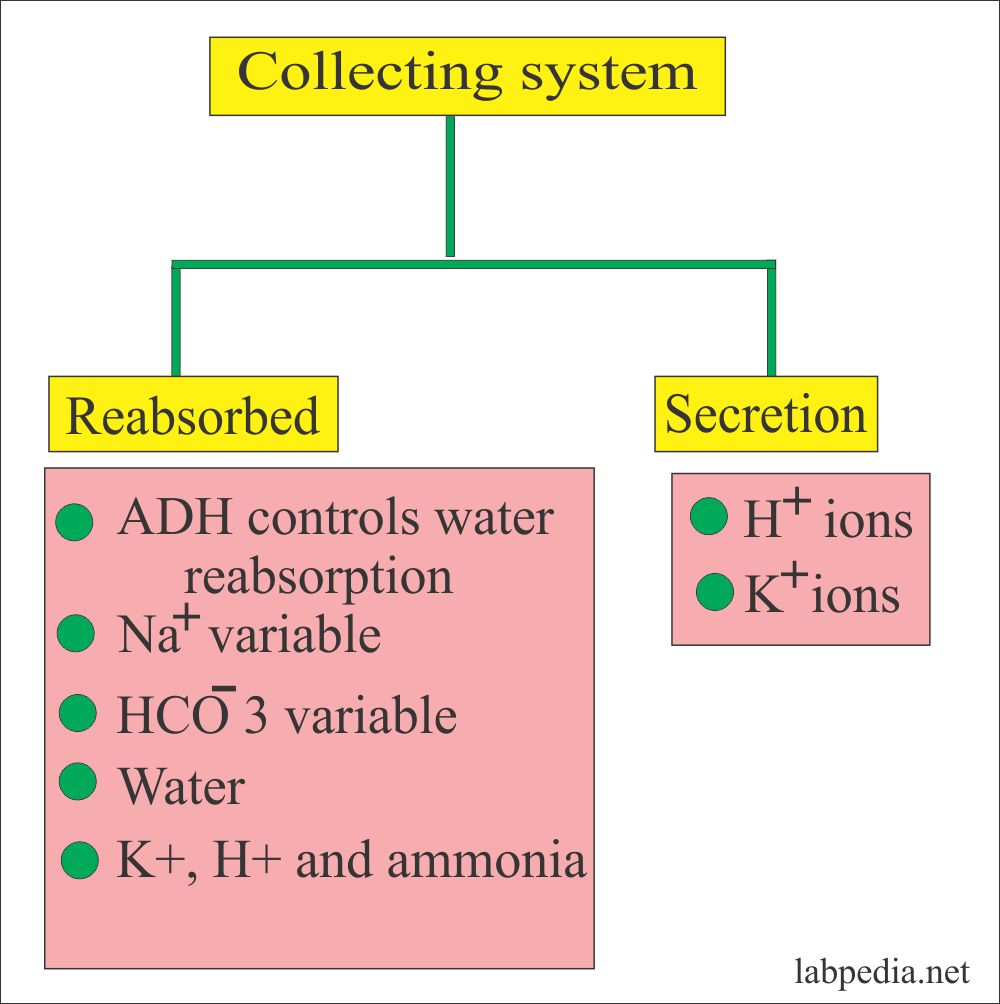 Kidney functions at the collecting system