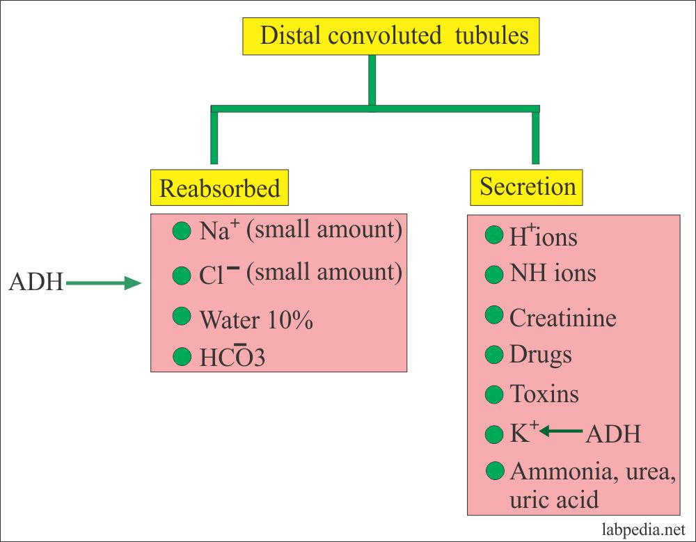 Kidney functions at the distal convoluted tubular level