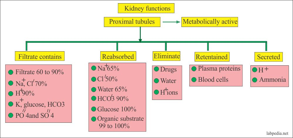Kidney functions and parameters at various level