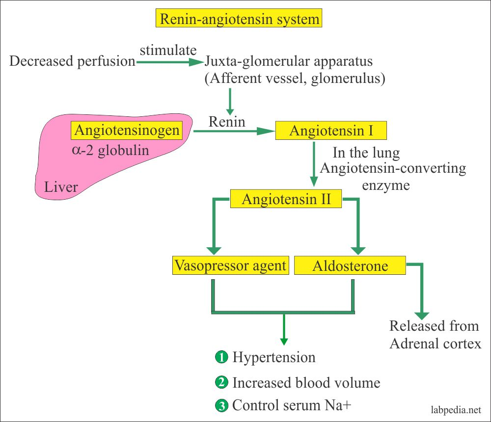 Plasma Renin assay, Plasma Renin Activity, Angiotensin