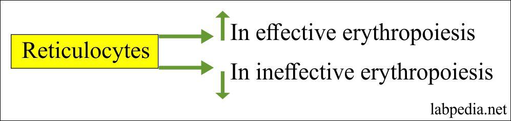 Reticulocytes in Erythropoiesis
