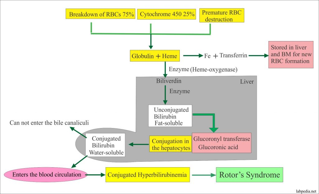 Rotor's Syndrome Mechanism