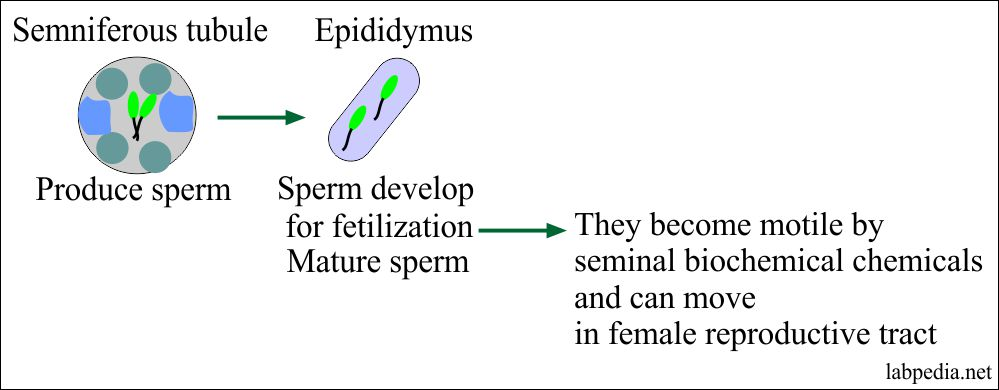 Spermatogenesis  and Sperm can move in a female genital tract