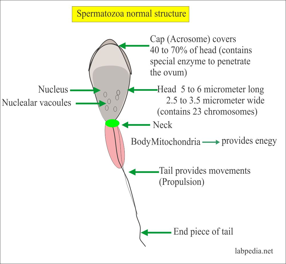 Structure of the normal Sperm
