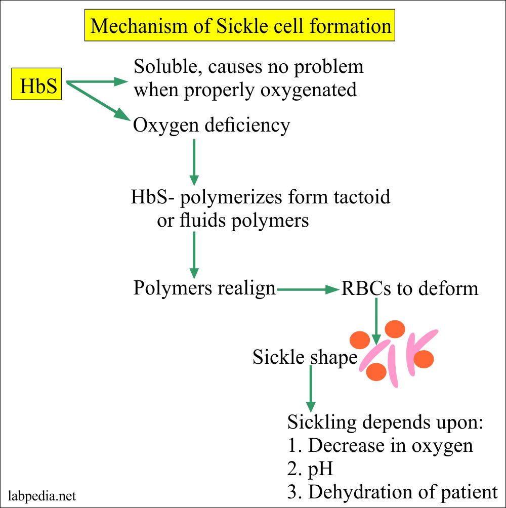 Mechanism of Sickle cell formation