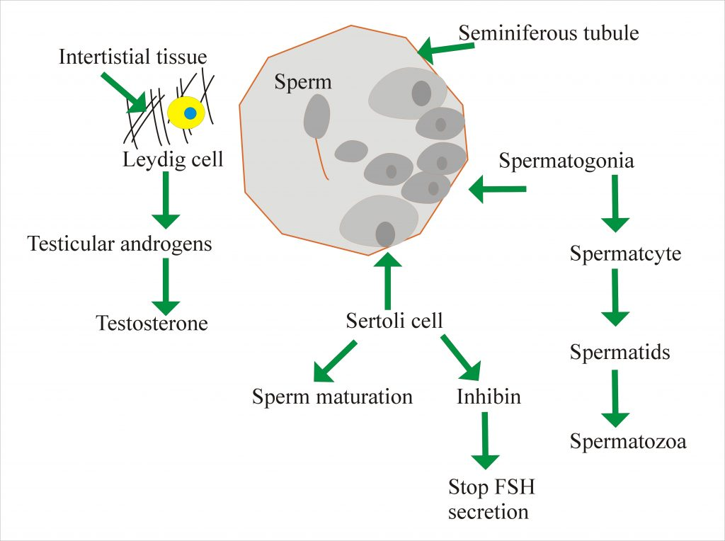 Testosterone Synthesis and Spermatogenesis