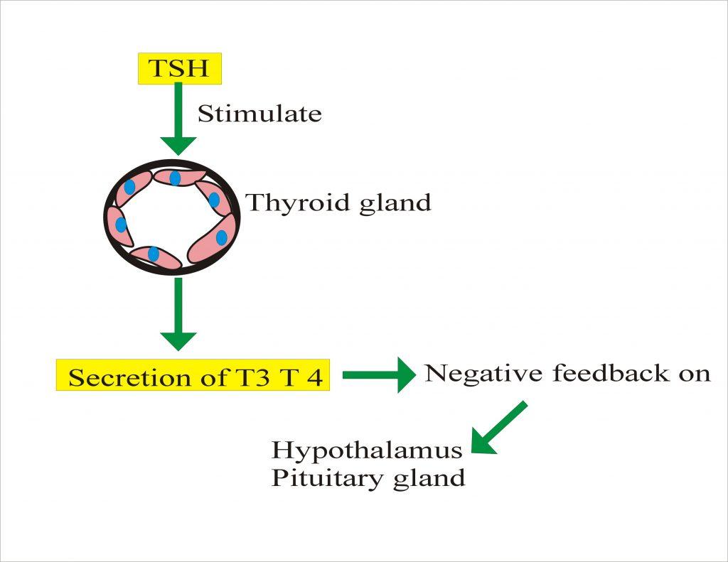 Thyroid Part 1 Thyroid Function Test Thyroid Hormones T4 T3