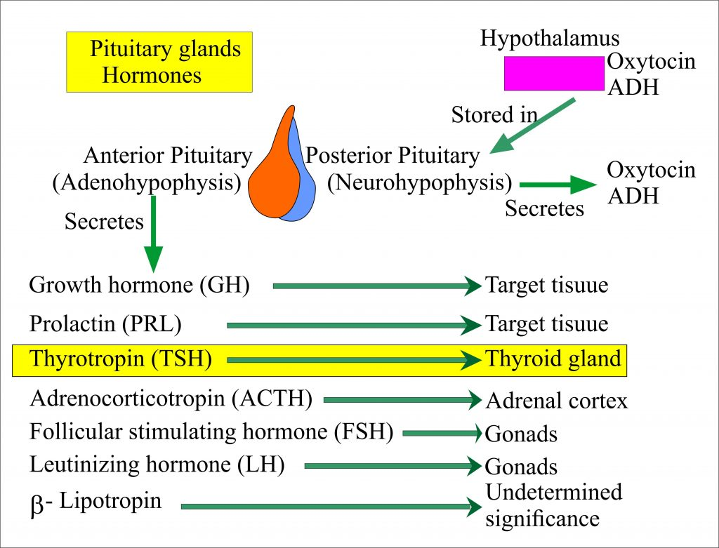 The pituitary gland and its effect on the thyroid gland