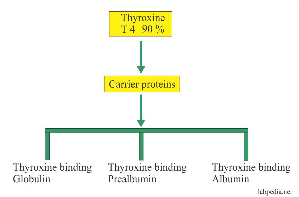 Thyroid Part 1 Thyroid Function Test Thyroid Hormones T4 T3 Tsh Labpedia Net
