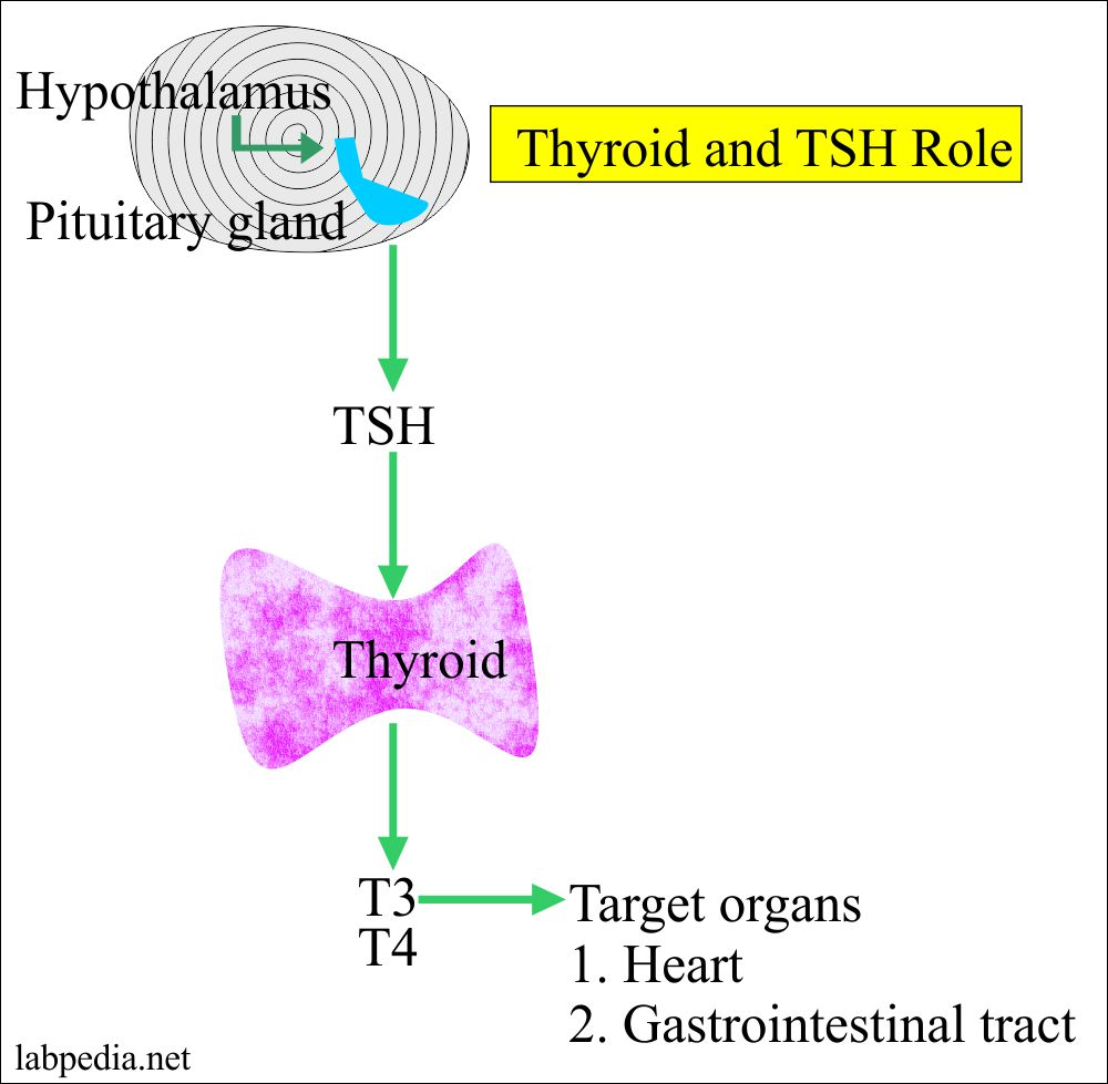 Target organs for the Thyroid hormones