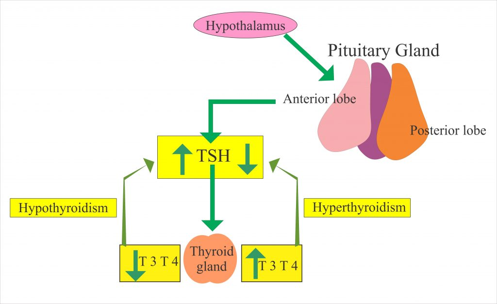 Thyroid functions and role of TSH