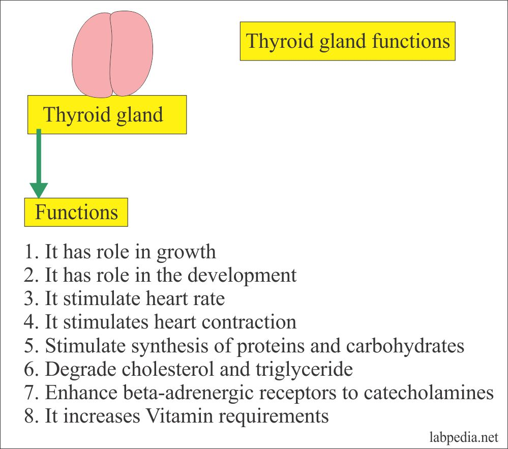 Thyroid Part 2 Thyroid Stimulating Hormone Tsh Thyrotropin